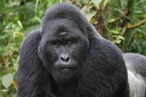 Elizabeth Gordon - Guide to gorilla trekking/Huffington Post