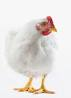 Deceptively nice looking hen. goaim.org