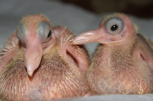 Baby pigeons don't fly, they plummet. www.spacepeanutproductions.blogspot.com